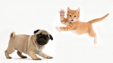 Два щенка мопса, напуганы крошечным котенком